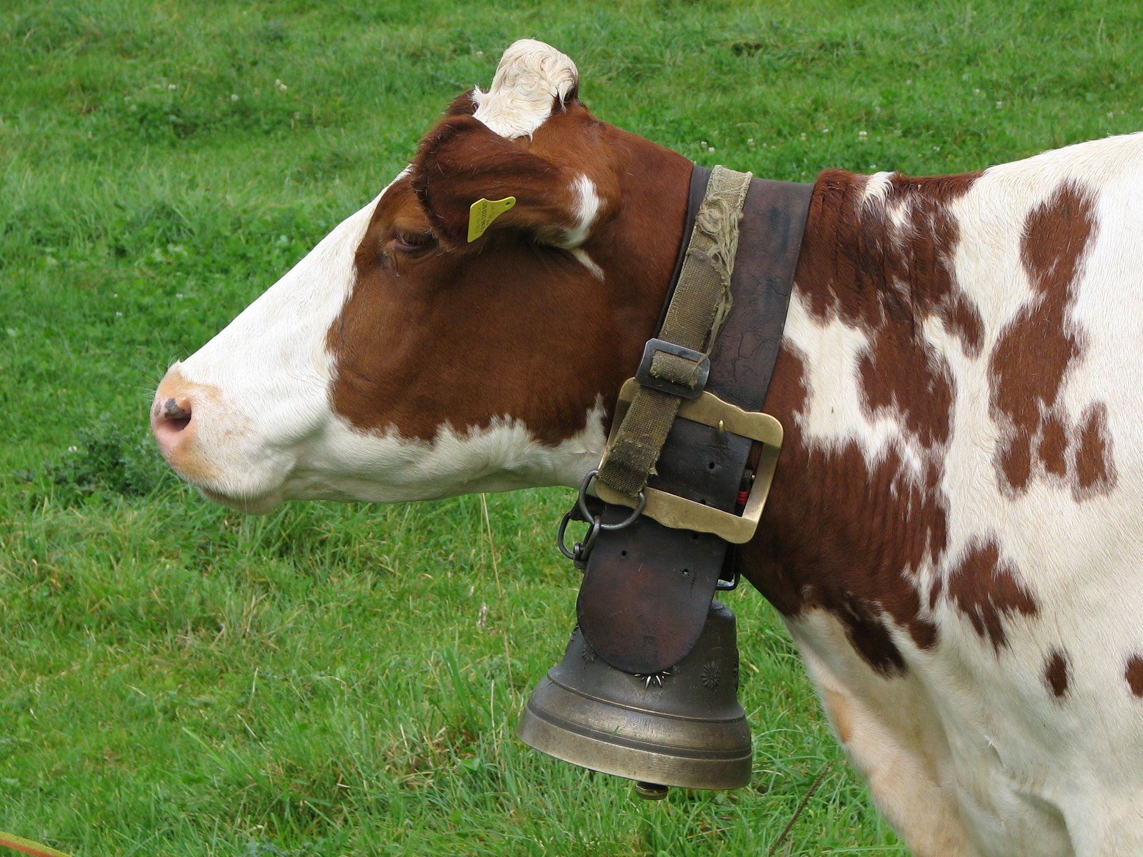 bell-cow.jpg